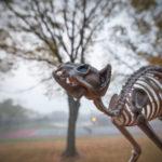 Bones the Skeleton Cat